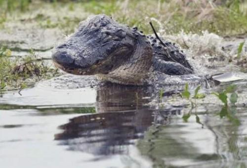 بالصور.. تمساح يلتهم لاعب كرة قدم